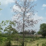 Crown dieback from drought stress