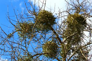 120591208 l 300x200 - Mistletoe – Festive Décor or Problematic Parasite?