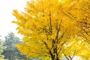 132526613 l 300x200 - Ginkgo - Grand and Golden