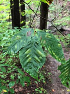 signs of beech leaf disease