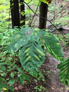 18409 225x300 - Beech Leaf Disease - New Illnesses Impact Trees Too