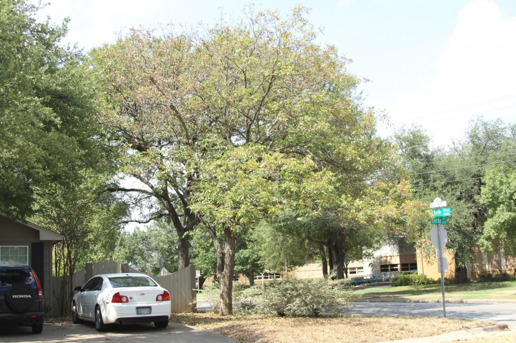 Drought Stressed Pecan1 1024x682 - Hell hath no fury…