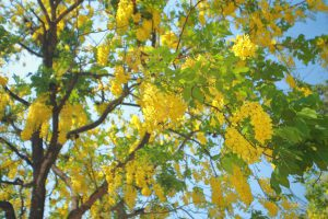 Golden Rain Tree 300x200 - Add a POP of Color with Flowering Ornamentals