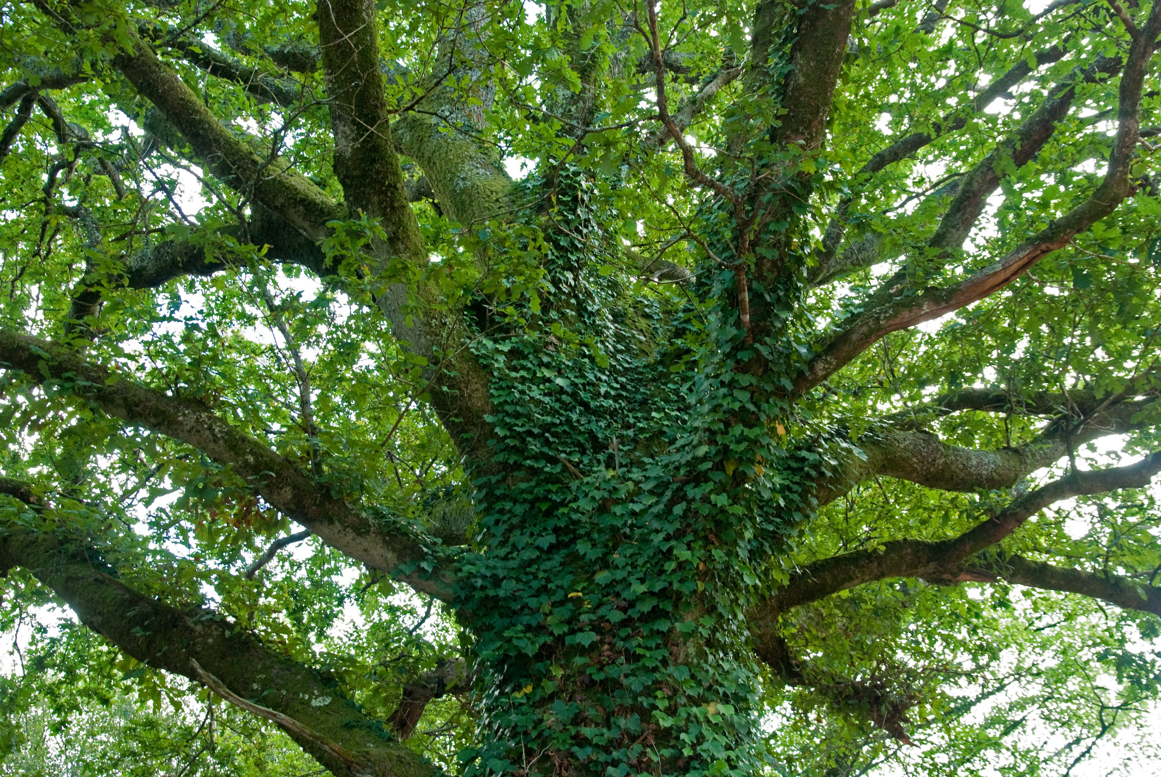 Ivy Ivy can add considerable weight and wind resistance in the canopy e1560970089209 - Ivy on Trees is a Concern