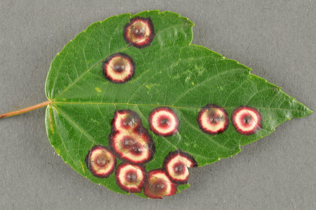 Maple Eyespot Gall 1024x680 - Evidence Reveals the Answer