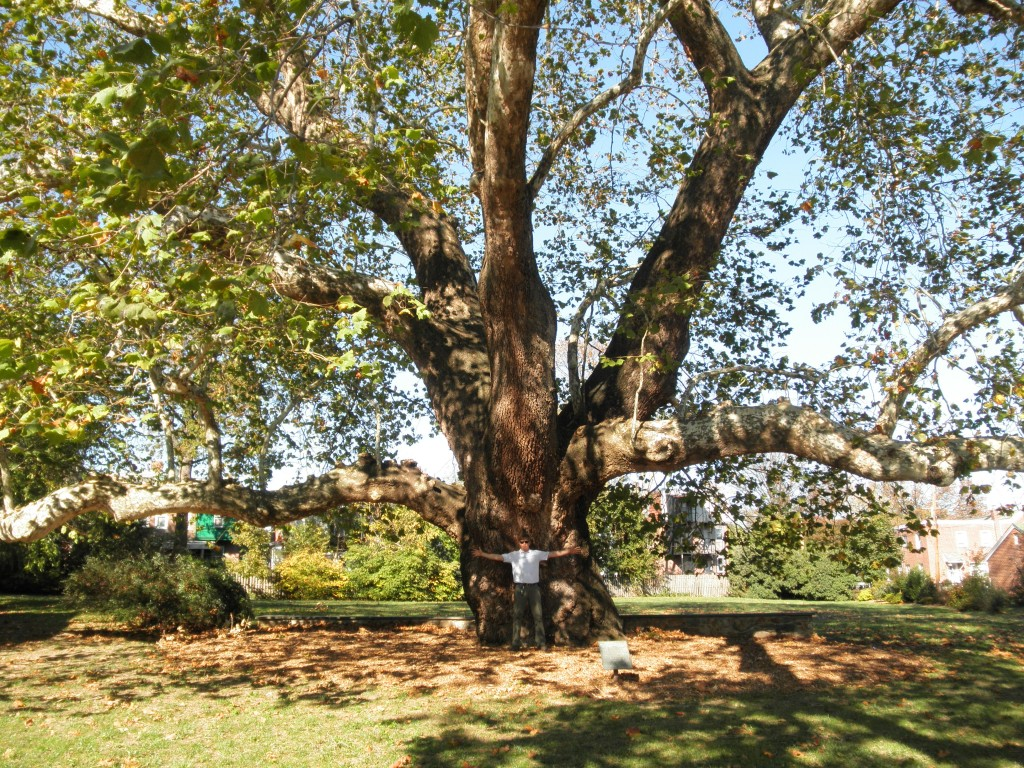 Caring for an Historic American Sycamore « Tree ...