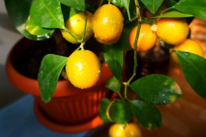 Potted citrus tree 300x200 - Container Trees: Pretty and Practical