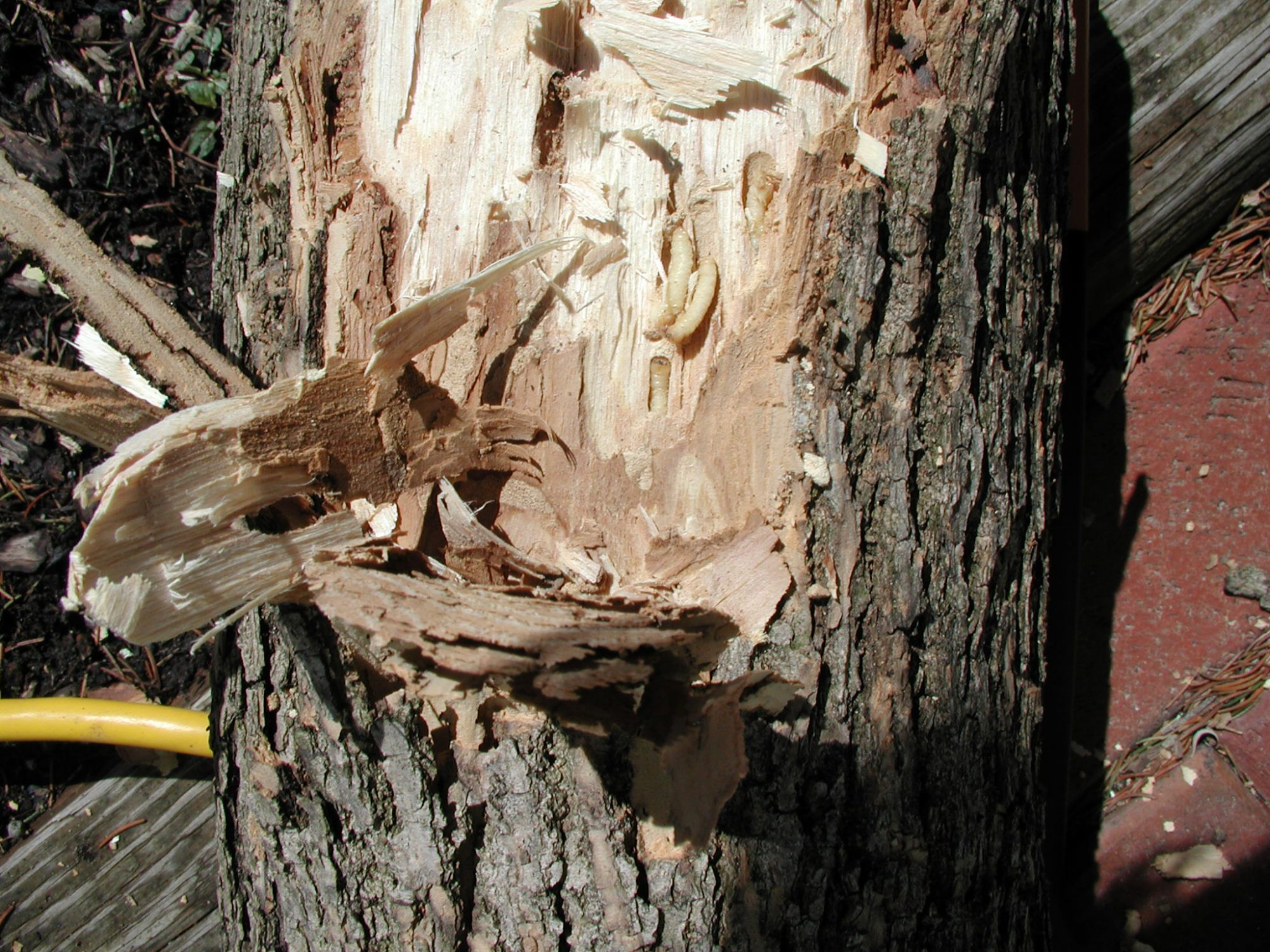 emerald ash borer larvae feed and burrow inside a tree