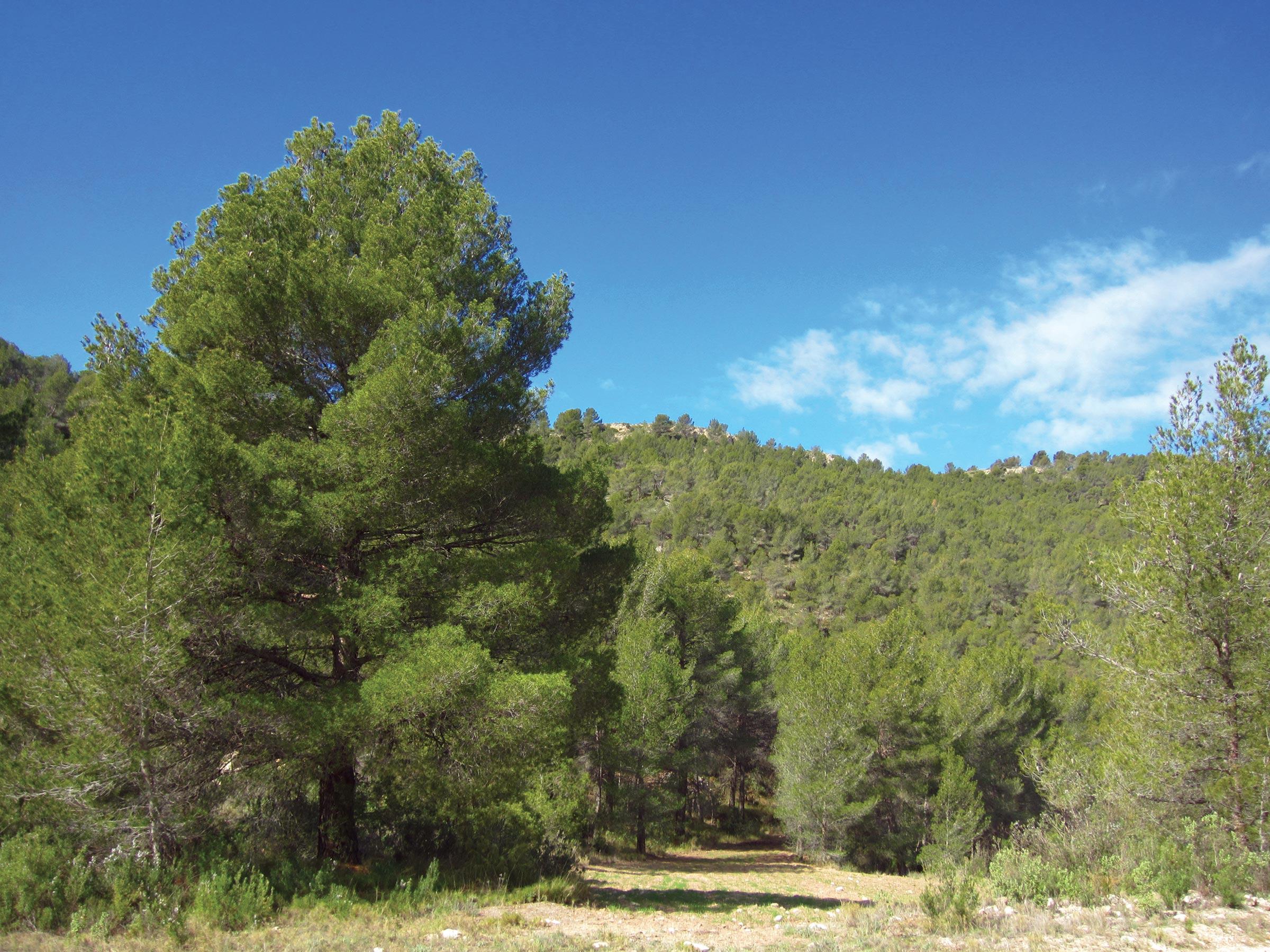 aleppo pine - Aleppo Pine