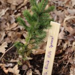 arbor day waltham brookline 2016 c 150x150 - Arbor Day and Earth Day 2016
