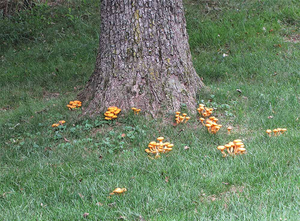 armillaria fruiting bodies - Reducing the Likelihood of Oak Decline