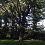 ash tree pruning 150x150 - Pruning Standards