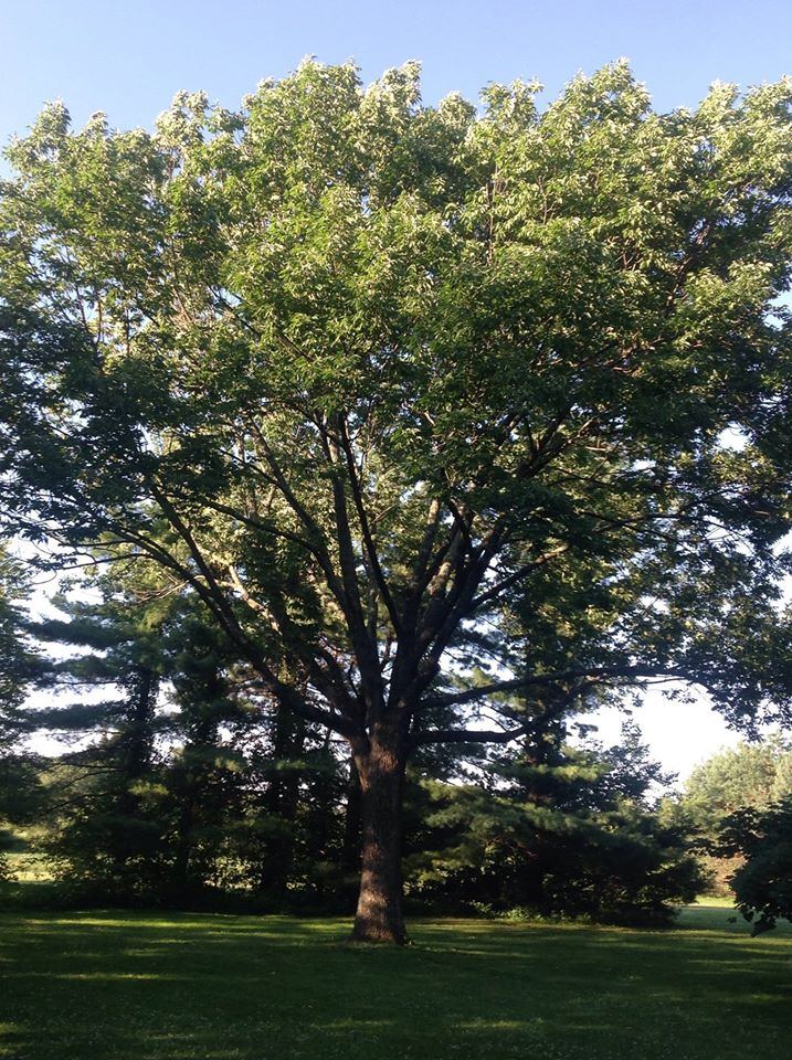 ash tree - Pruning Standards