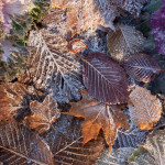 autumn leaves frost 150x150 - Autumn and Early Winter Tree Care