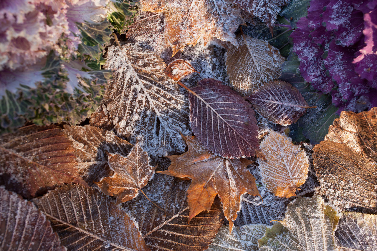 autumn leaves frost - Autumn and Early Winter Tree Care