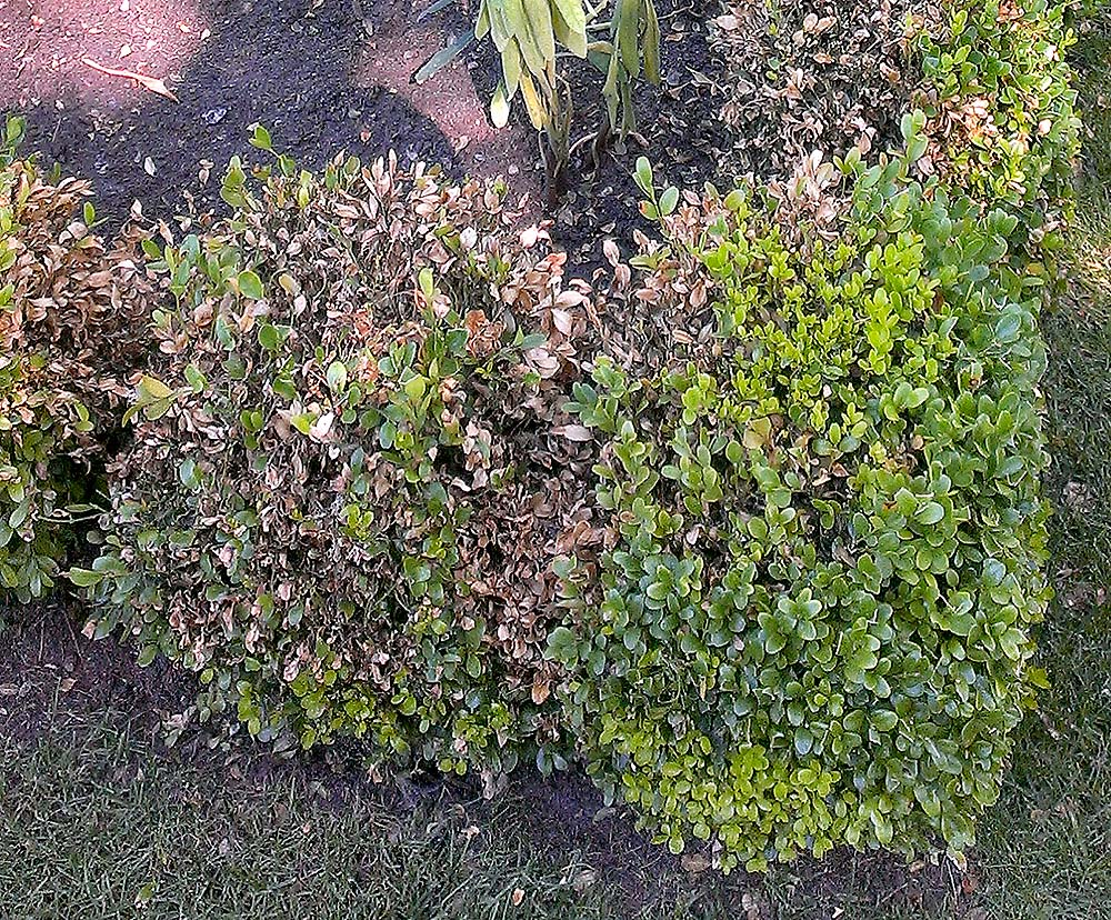 boxwood blight bushes - Deadly Boxwood Infection: How to Prevent Boxwood Blight