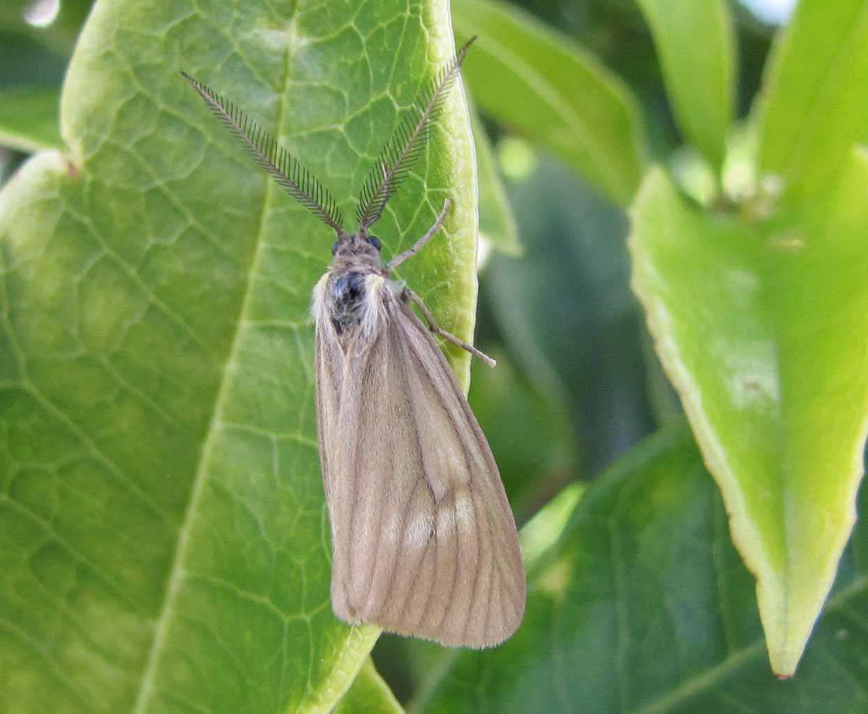 california oakworm moth - California Oakworm