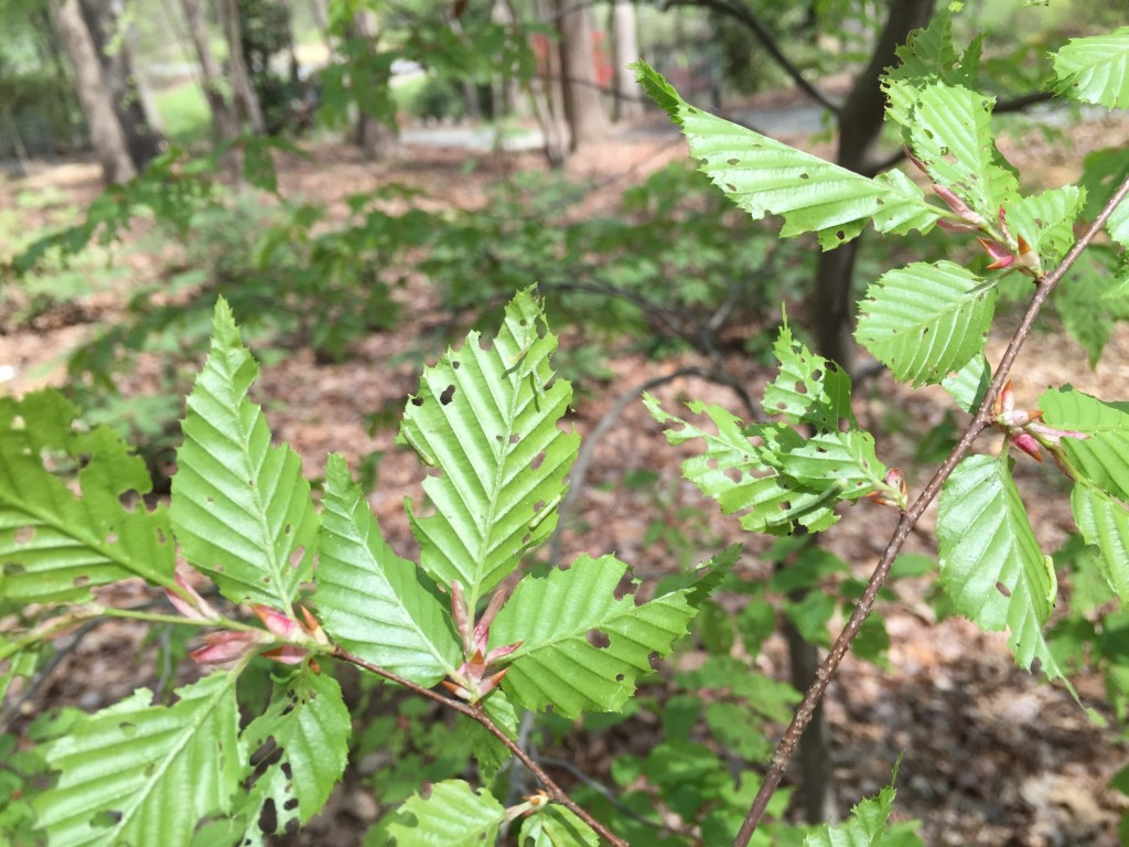cankerworm on elm 1024x768 - Hiding in Plain Sight: Common Signs of Insect Invaders