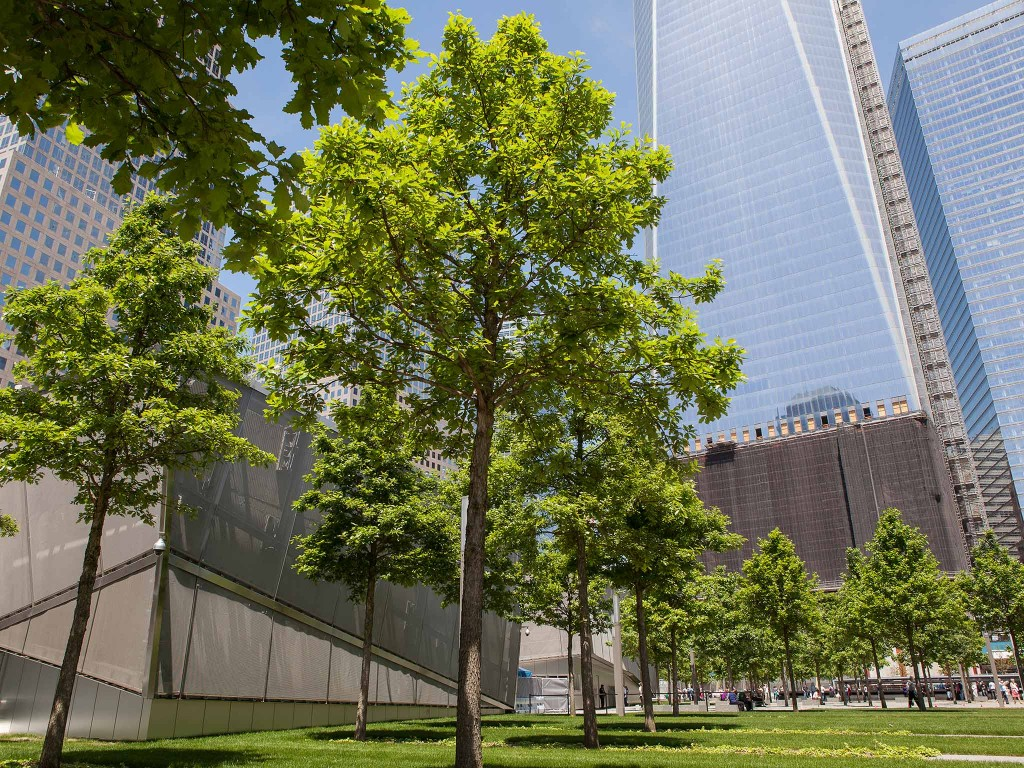 Photo gallery of the 396 Swamp White Oaks that stand strong at the 9/11 Memorial.