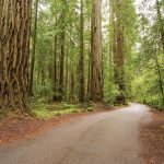 coast redwood 150x150 - Coast Redwood