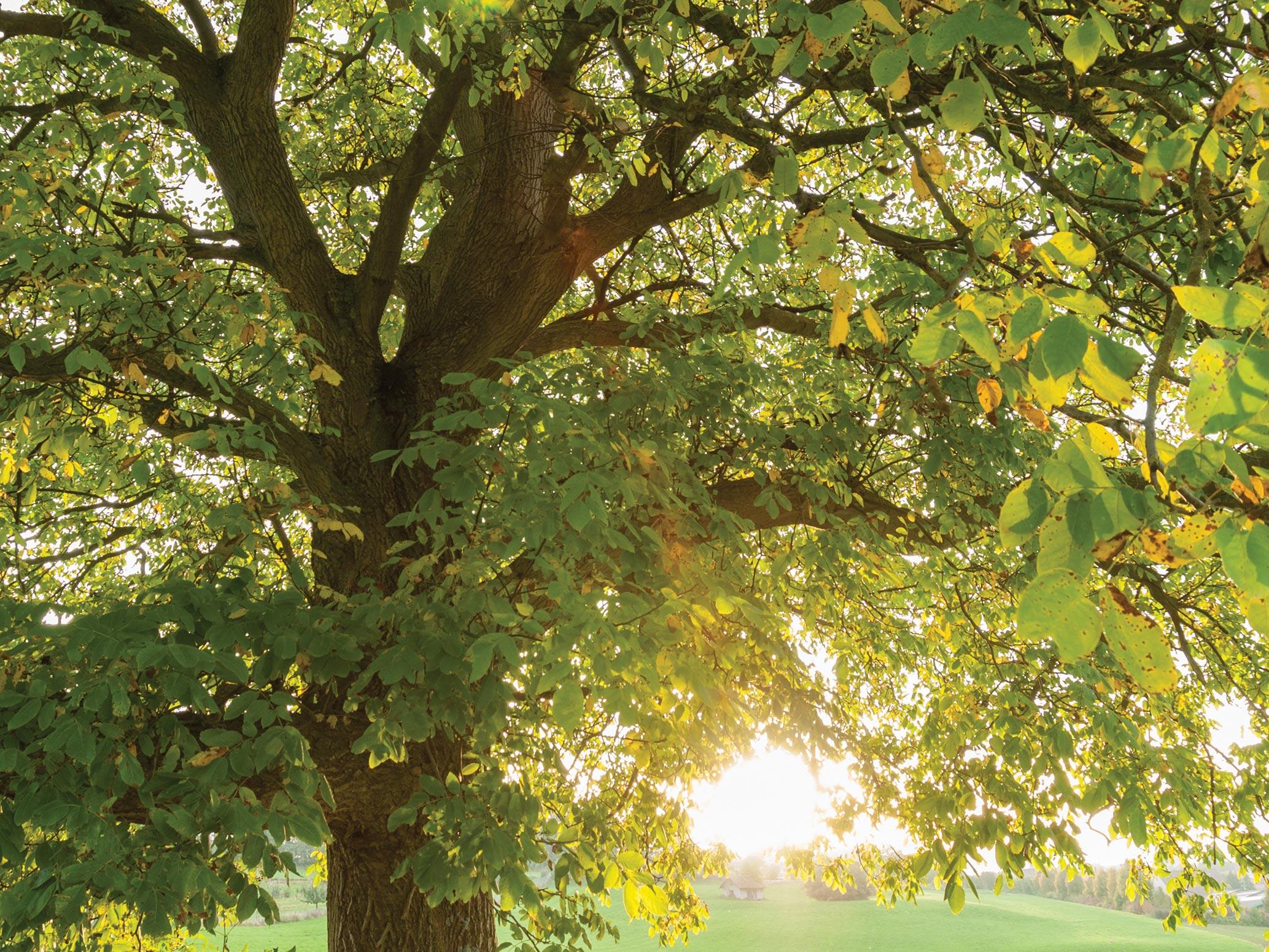 common walnut - Common Walnut