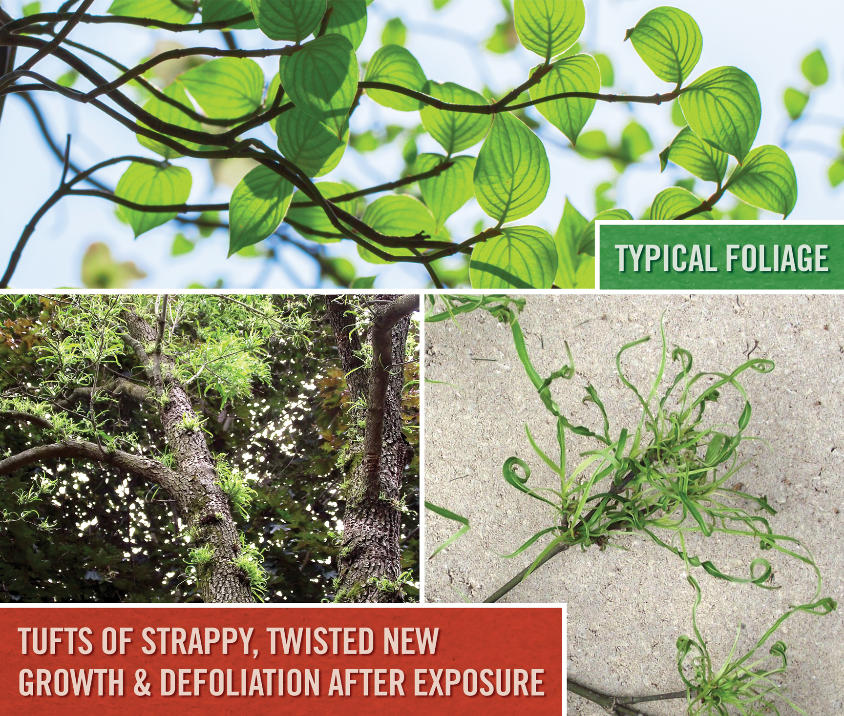 Flowering dogwood before and after exposure to new 'extended control' herbicides