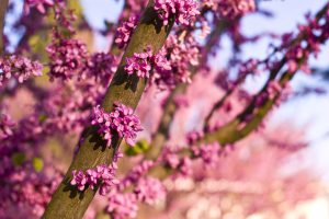 eastern redbud tree 300x200 - Add a POP of Color with Flowering Ornamentals