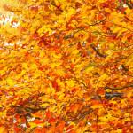 european beech autumn medium 150x150 - European Beech