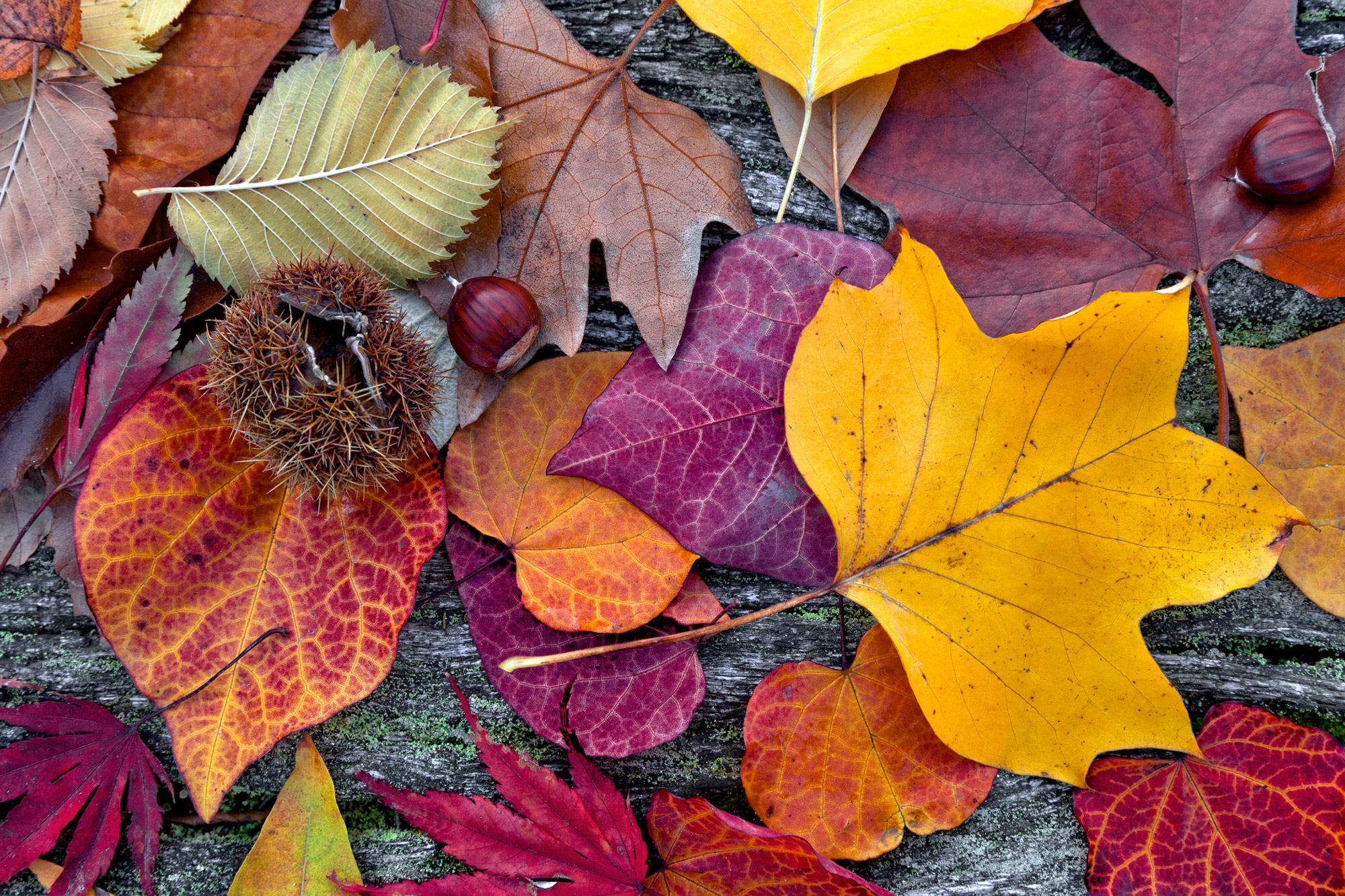 how to stop magnolia leaves fall in winter