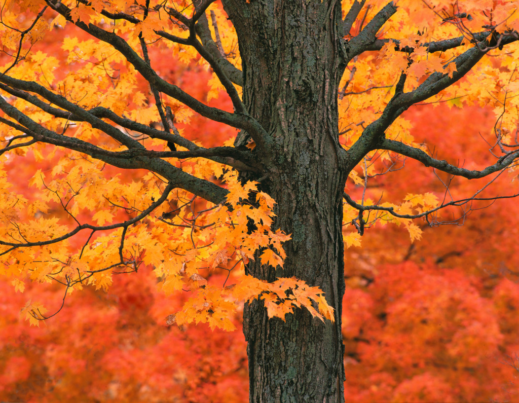 fall sugar maple 1024x795 - The Science Behind Fall Foliage