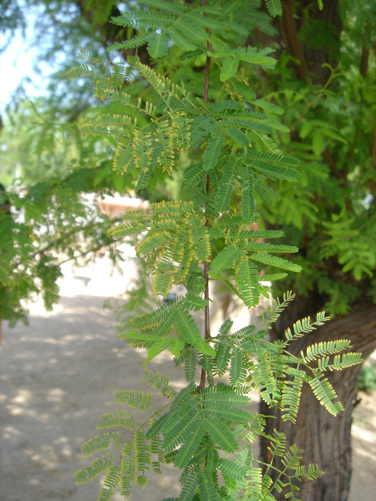 foliar symptoms of white fly and mites e1460670603669 768x1024 - Hiding in Plain Sight: Common Signs of Insect Invaders