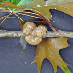 gall 150x150 - Unusual Growths on Trees