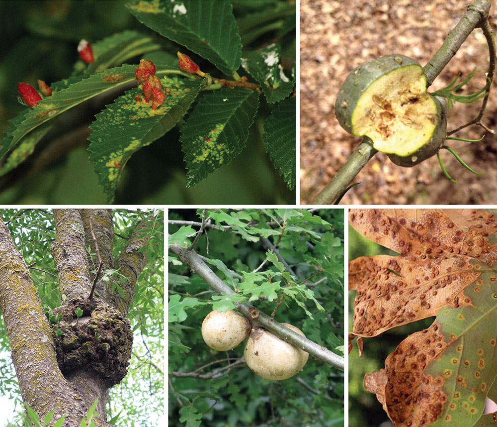 The appearance of galls is varied, and so are the causes.