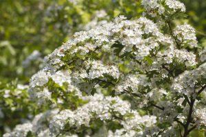 hawhtorn blooms