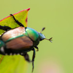 japanese beetle 150x150 - What Do Japanese Beetles Eat?