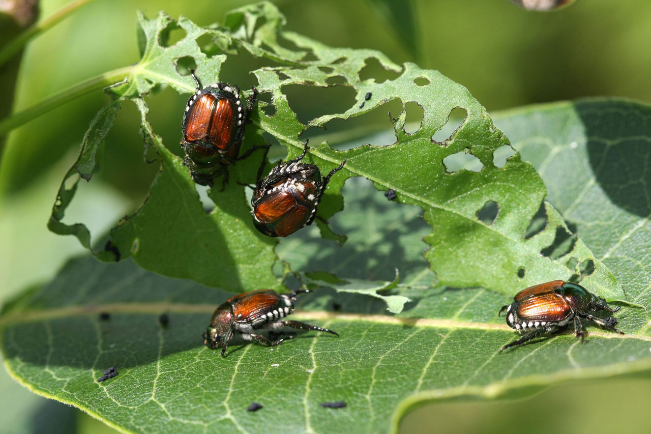 japanese beetles feeding medium - What Do Japanese Beetles Eat?