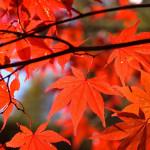 japanese maple autumn medium 150x150 - Japanese Maple