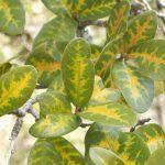 live oak wilt 150x150 - Suppressing Oak Wilt