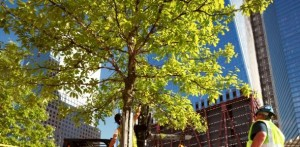 may2011a 300x147 - Caring for the Trees of the National September 11 Memorial Plaza