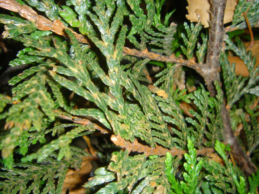 mites on cedar hedge 1024x768 - Hiding in Plain Sight: Common Signs of Insect Invaders