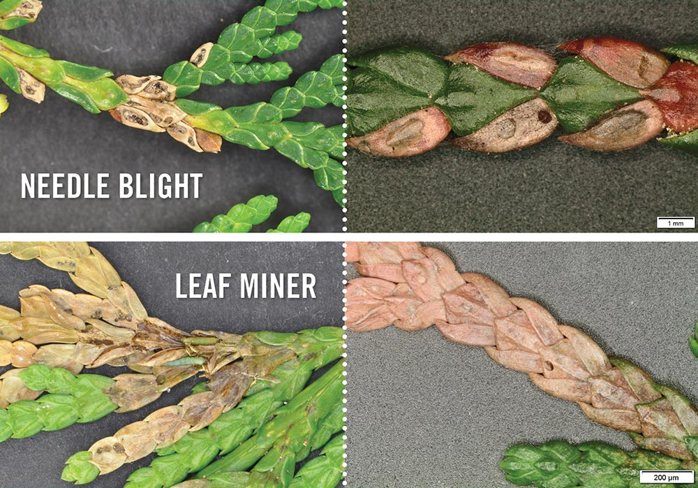 needle blight vs leaf miner - Evidence Reveals the Answer