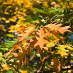 northern red oak autumn medium 150x150 - Northern Red Oak