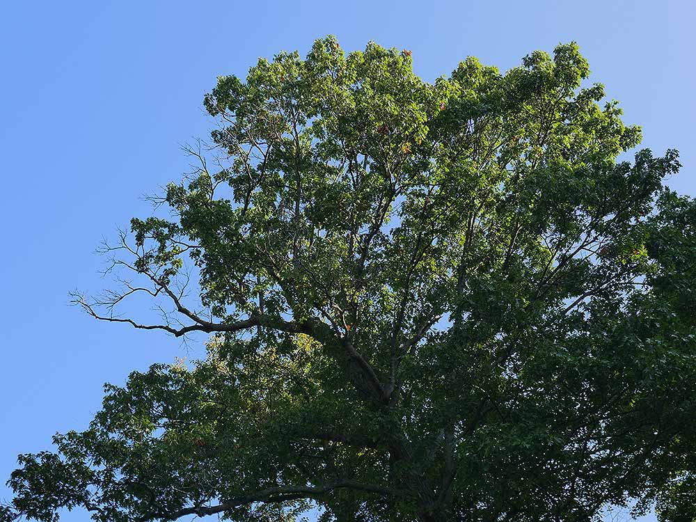 oak dieback - Reducing the Likelihood of Oak Decline