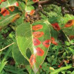 pear trellis rust leaves 150x150 - Pear Trellis Rust