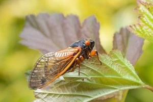 periodical cicada 300x200 - Brood X Cicadas and Your Trees and Shrubs