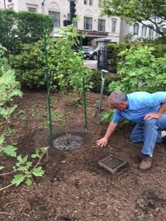 photo 1 2 - Planting of Survivor Tree Sapling at Boston Public Gardens