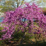 flowering ornamental