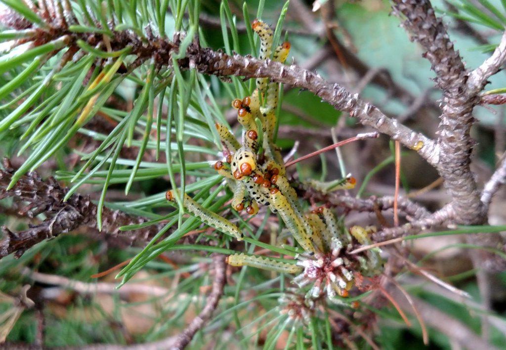 redheaded pine sawflies 1024x709 - Sawflies