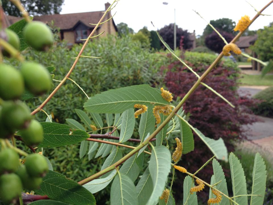 saw fly larvae feeding on rowan - Hiding in Plain Sight: Common Signs of Insect Invaders