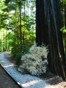 Albino Redwood at Base of Redwood